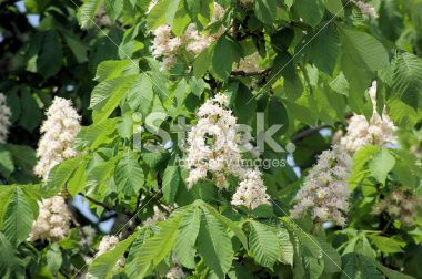 chestnut tree flowers