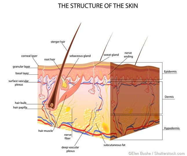 "The subcutaneous tissue, also known as the hypodermis or superficial fascia, is the layer of tissue that underlies the skin. The terms originate from subcutaneous in Latin and hypoderm in Greek, both of which mean ""beneath the skin,"" as it is the deepest layer that rests just above the deep fascia."