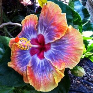 VooDoo Queen Hibiscus sold at Maas Nursery in Seabrook Texas
