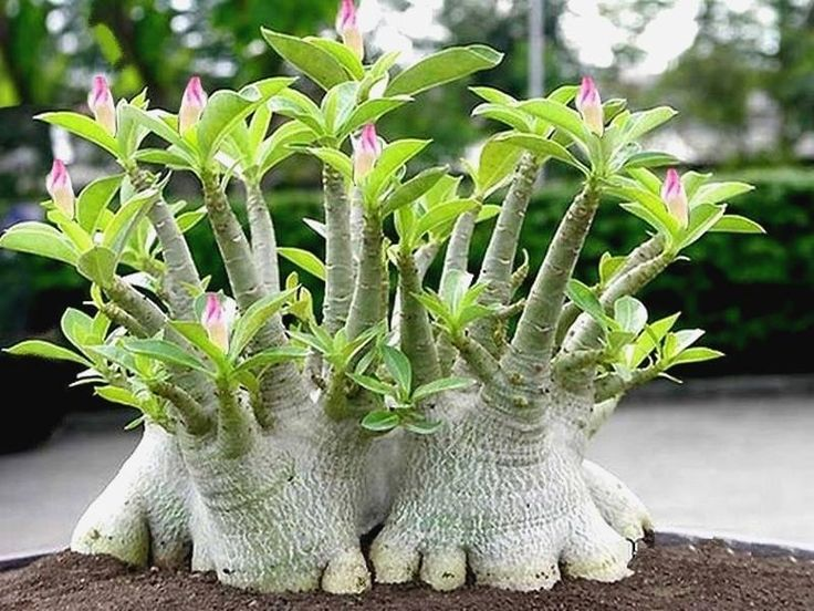 denium arabicum (Rose du Désert)  de Jardinerie AlsaGarden