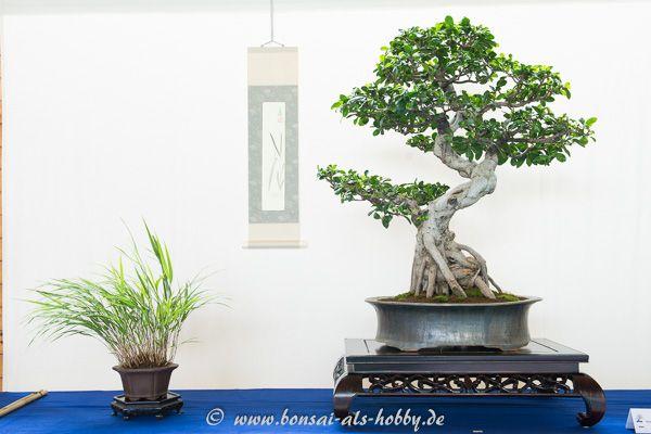 Ficus microcarpa ginseng Bonsai!