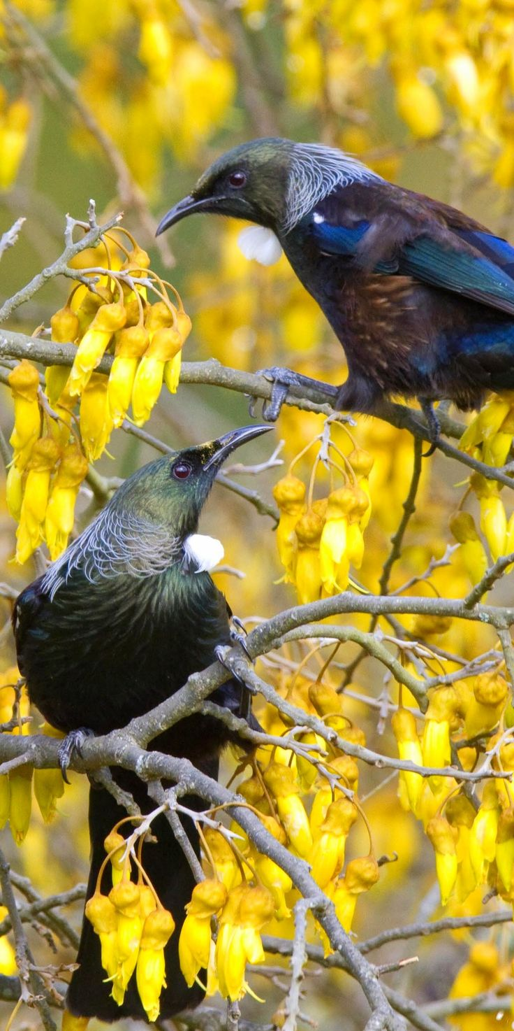 Tui in a Kowhai tree - NZ