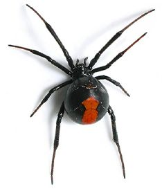 BP Pest Control Perth offers Spider treatments and control through Perth and its Surrounding suburbs. Contact us today for a free quote.