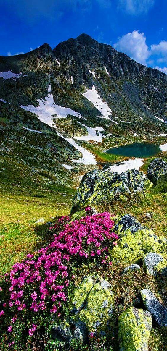 Rhododendron in National Park Retezat, Romania