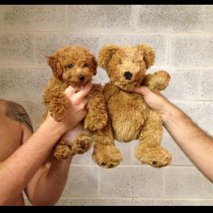 Cavapoo Compared To A Teddy Bear Dogs Pinterest