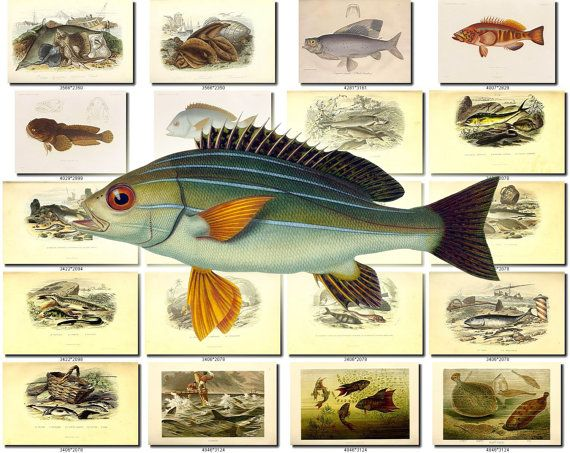 FISHES-56 Collection of 197 vintage images Grunt Comber Abdominaux (Fr), Adriatic Sturgeon, African Halfbeak, African Striped Grunt, Ageniosus Militaris, Anchovy, Angelshark, Angler, Angular Roughshark, Apodes (Fr), Apogon Rex-Mullorum, Argentine Conger, Arius Albidus, Asp, Aspius Alburnus, Atlantic Cod, Back