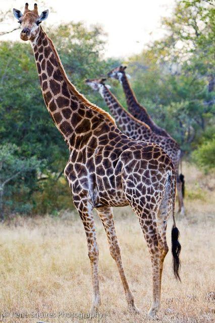 Favorite Giraffe,  South Africa, Safari