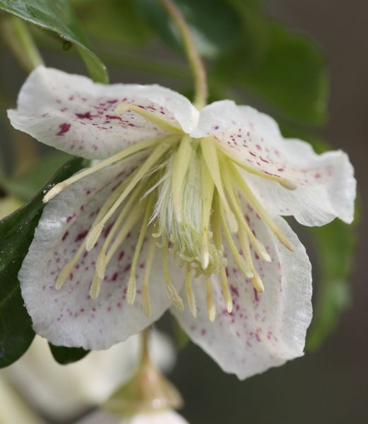 ~January - Clematis cirrhosa var. balearica - a lovely evergreen climber, with scented, pale cream, cup-shaped flowers, that are lightly speckled with red on the inside