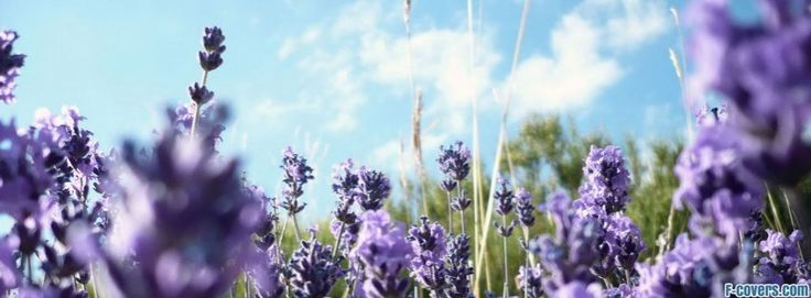 best ideas about lavander love  lovely lavender and purple