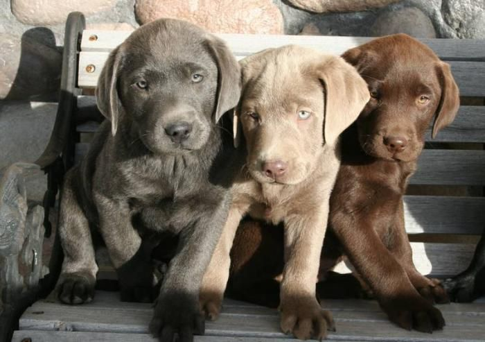 Silver Lab pups Dogs Puppy Hounds Puppies labrador retriever