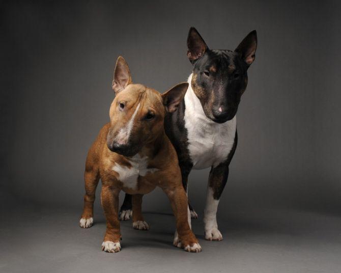 Cuties. #bullterrier #dogs