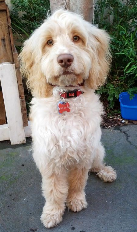 Buddy the Poodle Mix-Beautiful Rescue Baby!
