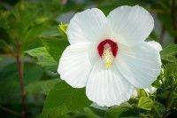Hibiscus moscheutos  Hibiscus moscheutos  Hibiscus moscheutos of malve is een struik met opzichtige 15-25 cm grote bloemen die bijna de hele zomer en in de herfst bloeien tot aan de eerste vorst  Het is een winterharde halfvaste plant die zowel......  Read More  Het bericht Hibiscus moscheutos verscheen eerst op Jungle Tuin.