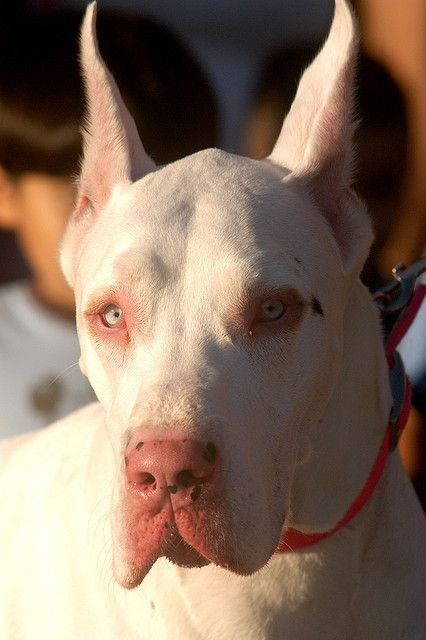 White Great Dane I want him now!!!!