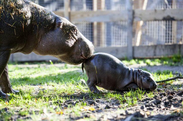 Olivia, un pui de hipoptam pigmeu nou născut, a primit toată atenția la Parken Zoo din Suedia. Femela a fost poreclită Omulețul Michelin datorită asemănării cu mascota fabricantului de anvelope