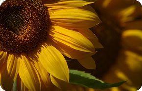 Symbolic Meanings of the Sunflower  Faith Longevity  Healing Nourishment Focus Good Luck Magic Worship Flexibility Spiritual knowing