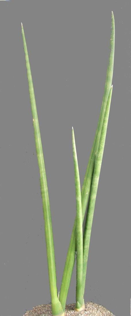 Sansevieria cylindrica CG151.1