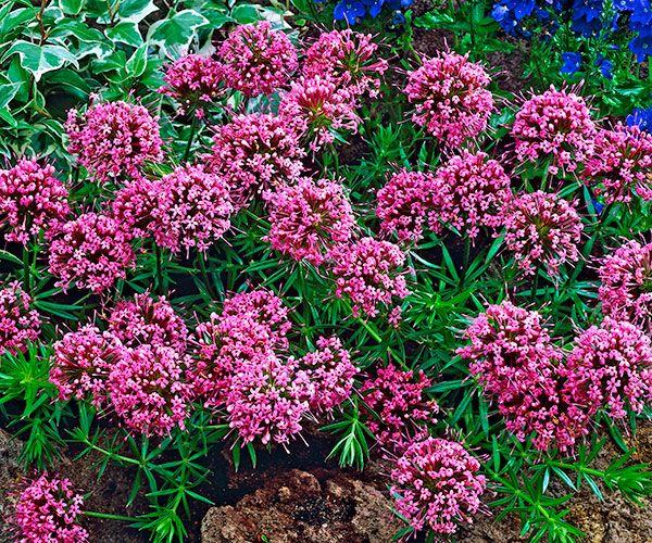 Křižmolístka. Phuopsis stylosa. V létě jsou trsy této trvalky úplně pokryté růžovofialovými koulemi květů. Je zcela nenáročná, na slunci se dobře rozrůstá a rychle pokryje půdu. Zabraňuje pak prorůstání plevelů. Květy i listy šíří jemnou vůni. Zkracujeme po odkvětu na podzim. Stanoviště:plné slunce -polostín, doba kvetení: červen-srpen, výška: 15 - 30 cm.