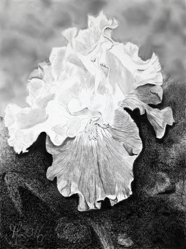 Title: Iris. Created in Graphite app.