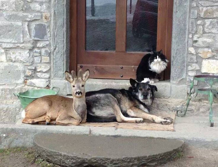 Young buck relaxes with a dog and a cat. What happens when he grows older and these predators can't meet his needs.