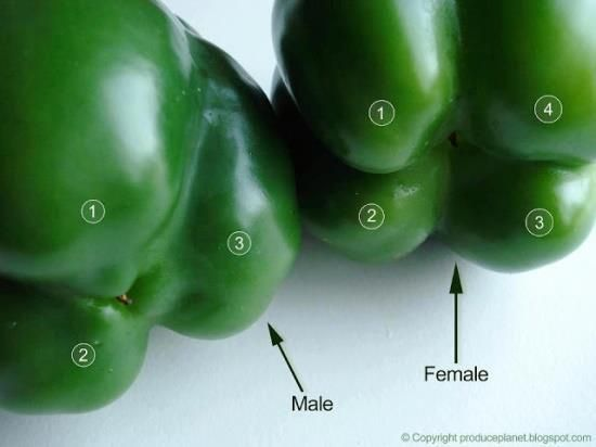 Mind. Blown. Flip the bell peppers over to check their gender. The ones with four bumps are female and those with three bumps are male. The female peppers are full of seeds, but sweeter and better for eating raw and the males are better for cooking.