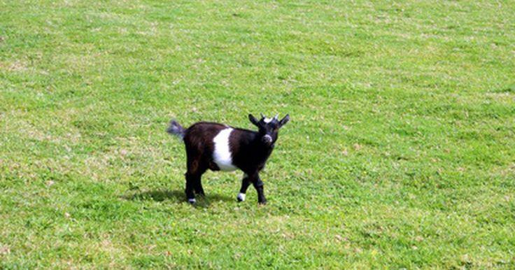 ¿Cuántos fardos de heno necesita una cabra por el invierno?. Independientemente de qué tipo de cabra poseas, tu animal necesita nutrientes cada día para mantenerse con vida. La mayoría de las personas que tienen cabras le proporcionan estos nutrientes en forma de hierba fresca, heno y grano. Tratar de predecir cuánto heno tu cabra necesitará durante el invierno puede parecer abrumador, quizás incluso ...