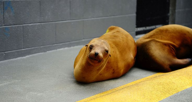 Sea lions can get domoic acid poisoning by eating fish laced with the toxin. The lucky ones end up in a rehabilitation center. But the seizures and brain damage caused by the toxin impair their spatial memory, a new study finds. ~~ The Marine Mammal Center