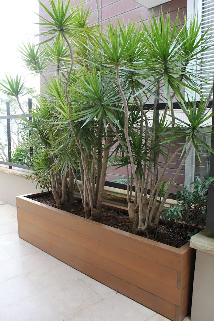 Dracena marginata provides a sculptural screen.