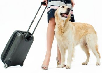 Traveling with pets this summer? Here are 5 tips for flying with your dog   Pets Best