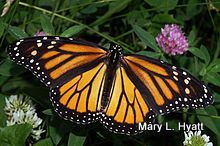 LET'S BRING BACK THE MONARCH BUTTERFLIES:  Step by Step Photos For  My Method Of Preserving Them