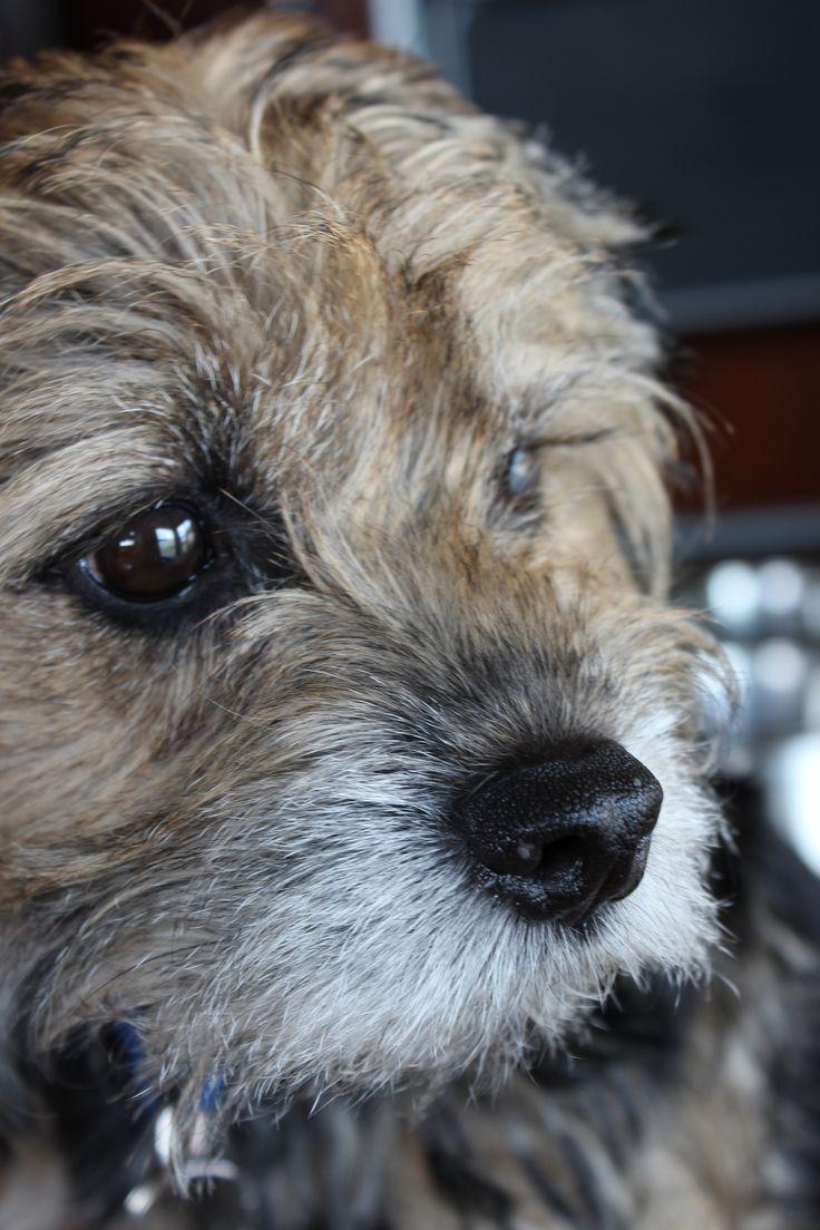 Parker, the Border Terrier