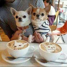 Cute chihuahuas with chihuahua cappuccinos