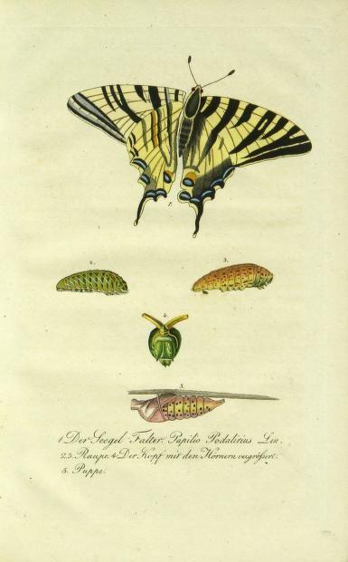 Abbildung und Beschreibung der bekanntesten Schmetterlinge Deutschlands nach ihren drey Lebens-Perioden; - Biodiversity Heritage Library