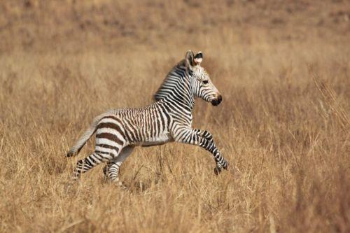 Little zebra!Zebras Baby, Hors And Zebras, Animal Collection, Animal Alot, Animal Kingdom, Baby Animal, Baby Zebras, Adorable Pets, Adorable Animal