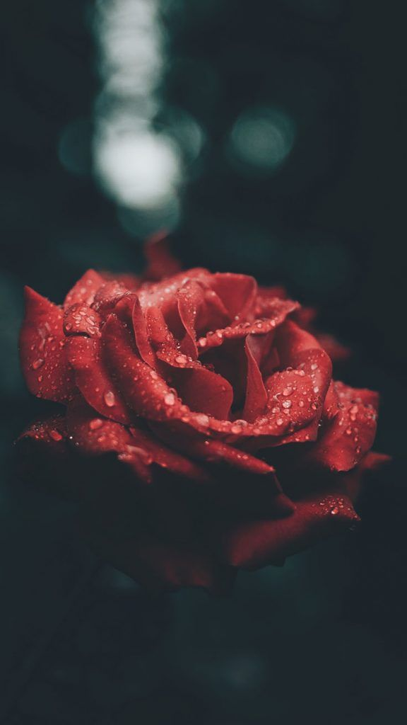A Dozen Red Roses Iphone Wallpapers For Valentine S Day Preppy Wallpapers Preppy Wallpaper Iphone Wallpaper Tumblr Aesthetic Iphone Wallpaper Vintage Rose wallpaper iphone x