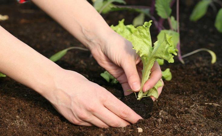 Jetzt geht's los: Im März erwacht die Natur aus dem Winterschlaf. Die ersten Beete im Gemüsegarten können bestellt werden. Außerdem gibt es viele Gemüsearten, die man jetzt schon im Gewächshaus, Frühbeet oder auf der Fensterbank vorziehen sollte.
