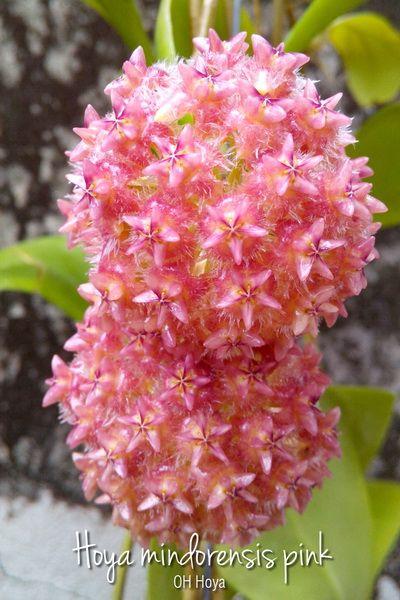 Hoya mindorensis