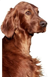Worksheet. Best 25 Setter hund ideas on Pinterest  Irish setter hunde