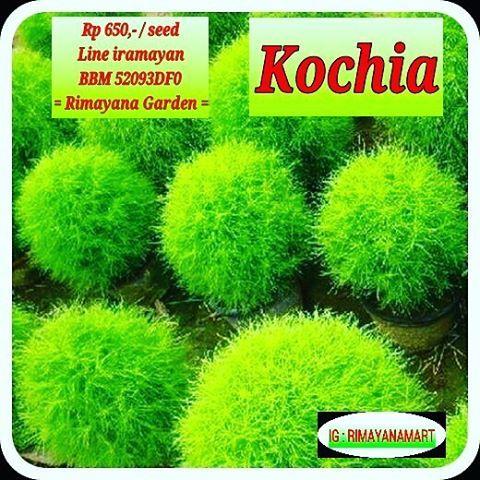 Benih rumput kochia yang kece ini lagi trend loh.. Bisa ditanem didalam pot sebagai tanaman hias. Hanya Rp 650,- aja Buruan order yuks! Line iramayan Bbm 52093DF0 = Rimayana Garden = #tagsforlikes #f4f #benih #Bibit #tanam #tanaman #petaniindonesia #indonesia #gogreen #goplanting #petani #urbangarden #urbanfarming #Rimayanagarden #Rimayanamart #Promo #pemangkat #singkawang #sambas #pontianak #promosi #newproduct #murah #rumputkochia #kochia #tanamahhias #benihunggul