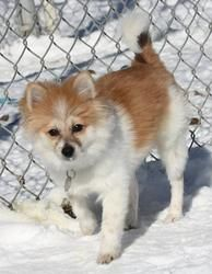 pomeranian shiba inu mix 86 best images about pup s on pinterest chow chow 6036
