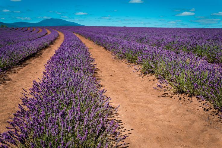 Lavender Farm, Tassie - Lavender Farm