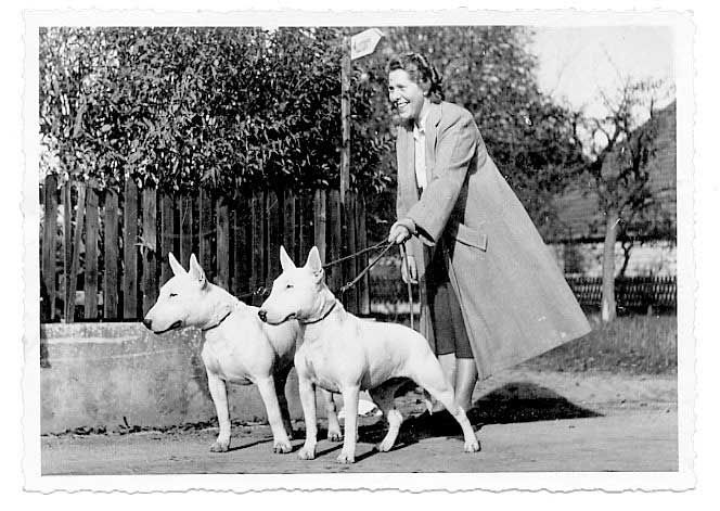This woman has her hands full of Bull Terriers! Probably in the 1950s.