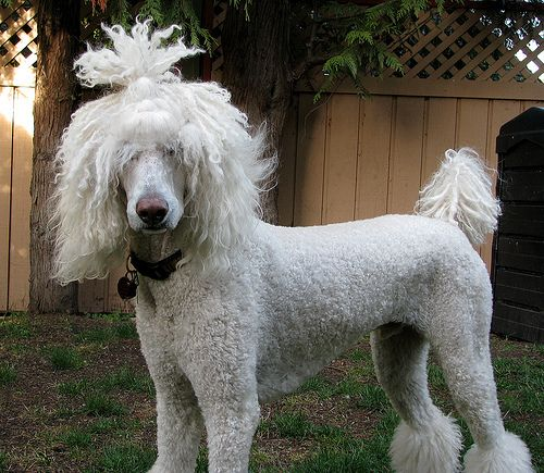 White Standard Poodle, Moby