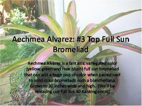 Aechmea Alvarez - Florida Full Sun Bromeliad