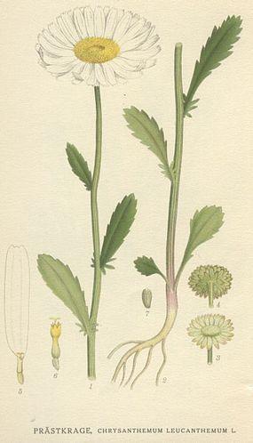 Kopretina - Leucanthemum