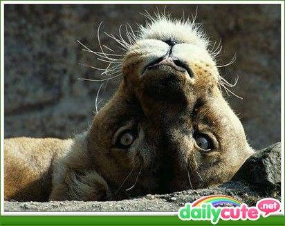 upside down - Cats - Aug 28, 2012 - DailyCute.net: Big Cats, Animals, Creature, Bigcats, Beautiful, Lions, Wild Cats, Photo