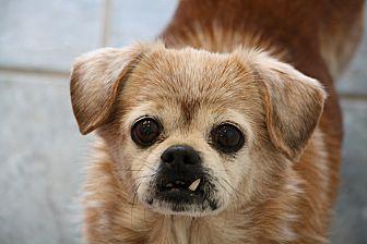 Pug/Pekingese Mix Dog for adoption in Greensboro, North Carolina - Joey