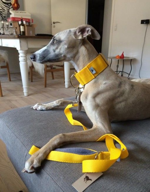 Martingale Collar in Naples Yellow with Matching Collar