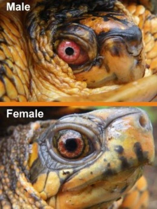 Everything you need to know about Eastern box turtles, Terrapene carolina carolina.