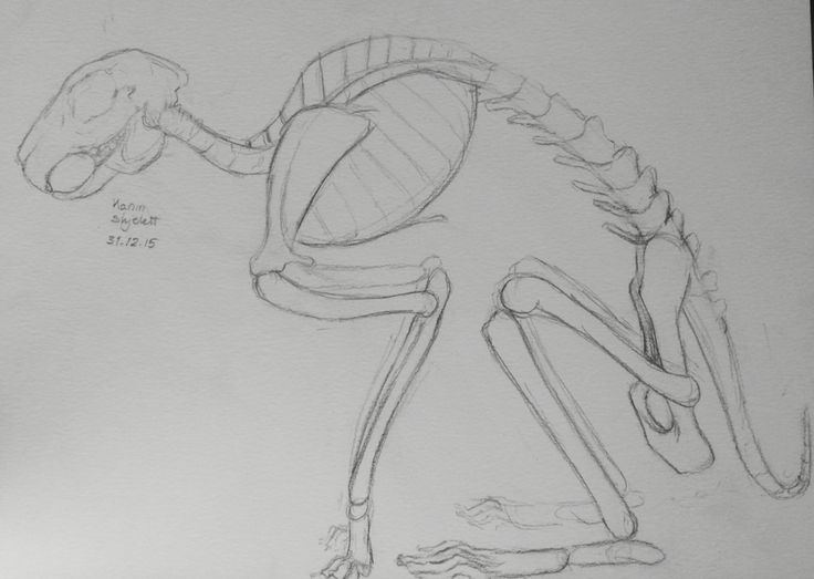 Bunny/rabbit skeleton